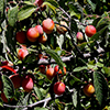 THUMB_Prunus americana leaves fruit LBJ