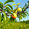 THUMB_Prunus angustifolia fruit wiki