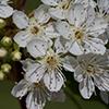 THUMB_Prunus pensylvanica flower SEF