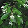 THUMB_Prunus serotina leaves flowers wiki