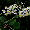 THUMB_Prunus virginiana flowers LBJ