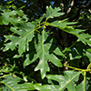 THUMB_Quercus alba leaves JH