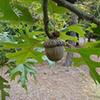 THUMB_Quercus coccinea acorn bugwood Franklin Bonner USFS