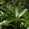 THUMB_Quercus imbricara leaves JH
