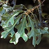 THUMB_Quercus lyrata leaves LBJ
