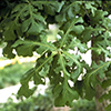 THUMB_Quercus macrocarpa leaves LBJ