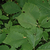 THUMB_Quercus montana leaf bugwood Chris Evans IL Wildlife Action Plan