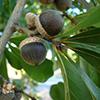 THUMB_Quercus nigra acorn bugwood Franklin Bonner USFS