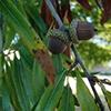 THUMB_Quercus phellos acorn bugwood Franklin Bonner USFS