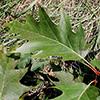 THUMB_Quercus rubra leaf LBJ