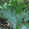 THUMB_Quercus veluntina leaf bugwood Rob Routledge Sault College