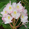 THUMB_Rhododendron maximum pink flower LBJ