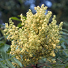 THUMB_Rhus copallinum flower LBJ