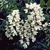 THUMB_Robinia pseudoacacia flower LBJ
