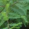 THUMB_Taxodium distichum needles wiki
