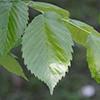 THUMB_Ulmus americana leaf SEF