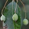 THUMB_Viburnum rufidulum seeds SEF