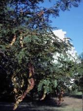 Gleditsia triacanthos