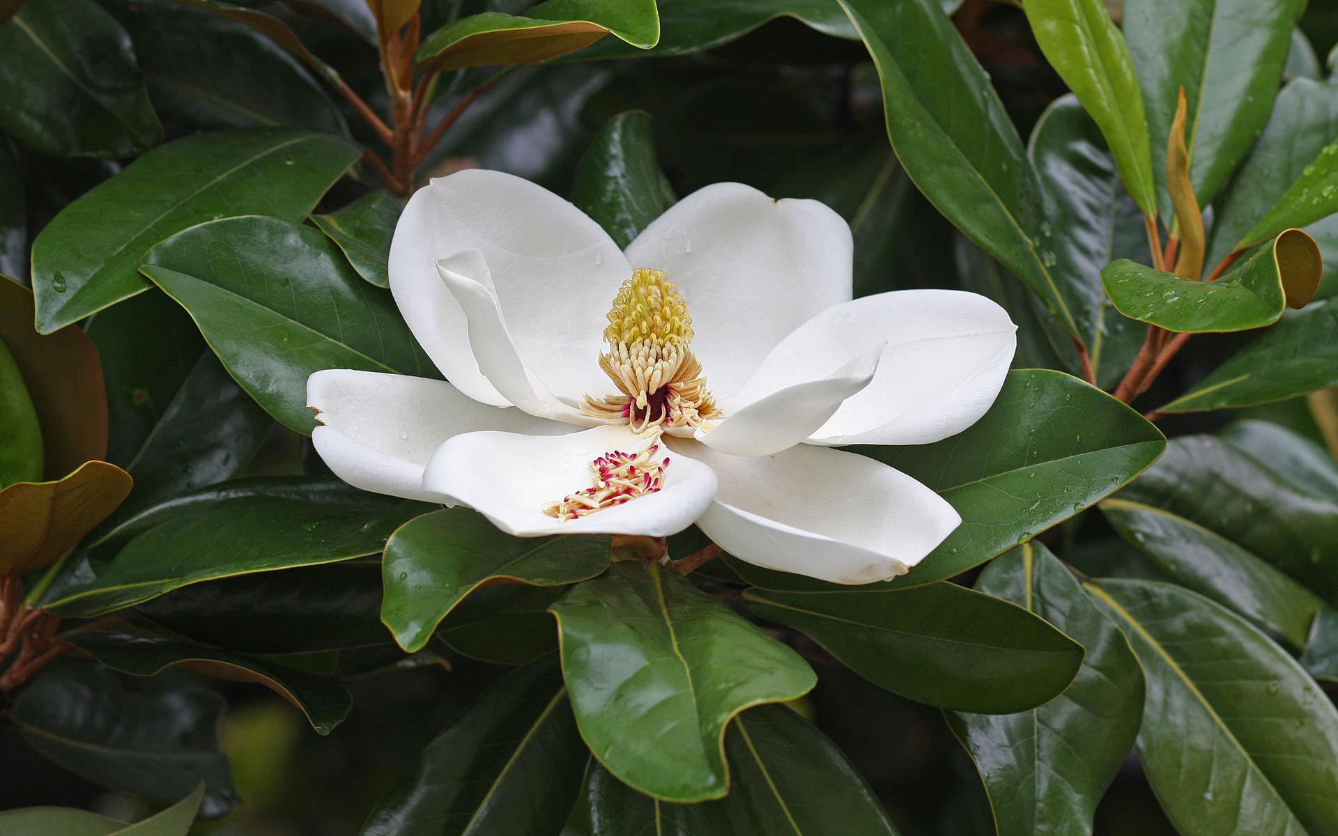 Southern Magnolia Bull Bay Evergreen Magnolia Tennessee Smart