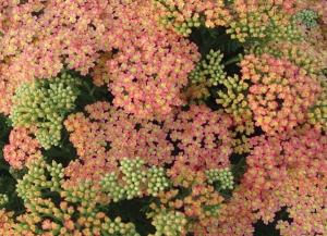 Achillea millefolium 'Peachy Seduction'