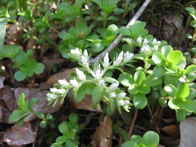 Sedum ternatum groundcover