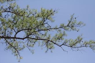 Pinus echinata