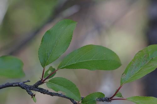 Prunus angustifolia