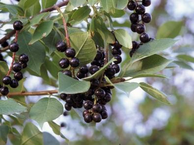Prunus virgiana