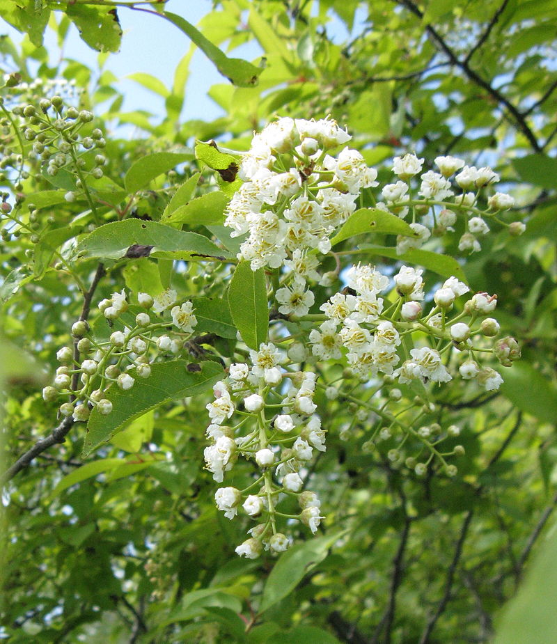 Prunus virgiana