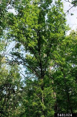 Quercus imbricaria