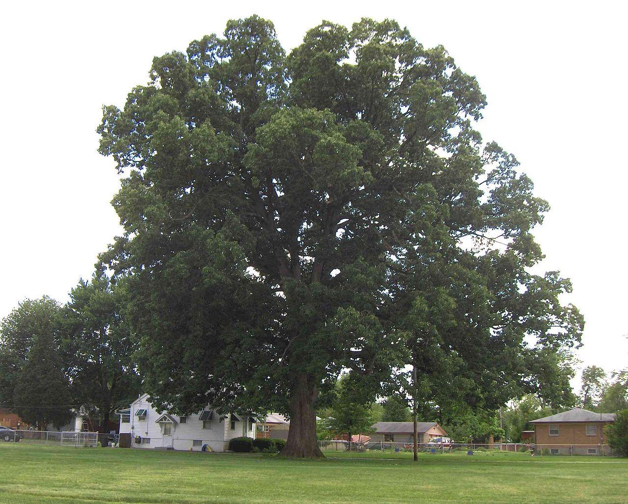 Swamp chestnut oak cow oak basket oak tennessee smart yards