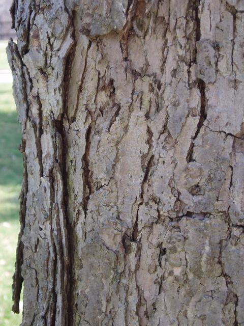 Quercus muehlenbergii