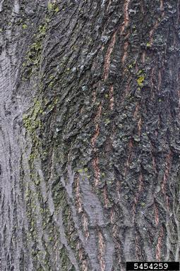 Quercus veluntina