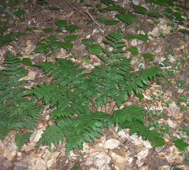 Dryopteris intermedia
