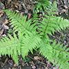 THUMB_Athyrium filix-femina plant wiki