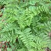 THUMB_Cystopteris protusa plants LBJ