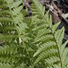 THUMB_Dennstaedtia punctilobula leaf closeup JH