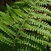 THUMB_Deparia acrostichoides leaf closeup JH