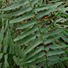 THUMB_Diplazium pycnocarpon leaf JH