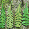 THUMB_Dryopteris celsa leaves LBJ