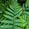 THUMB_Dryopteris goldiana leaf JH