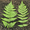 THUMB_Dryopteris intermedia leaves LBJ