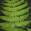 THUMB_Dryopteris marginalis leaf JH