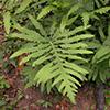 THUMB_Onoclea sensibilis plant KL