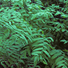 THUMB_Osmunda regalis plants LBJ