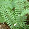 THUMB_Polystichum acrostichoides leaves LBJ
