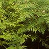 THUMB_Pteridium aquilinum plants LBJ