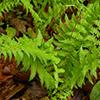 THUMB_Thelypteris noveboracensis plant JH