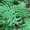 THUMB_Woodardia areolata plants wiki