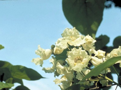 Catalpa bignonioides